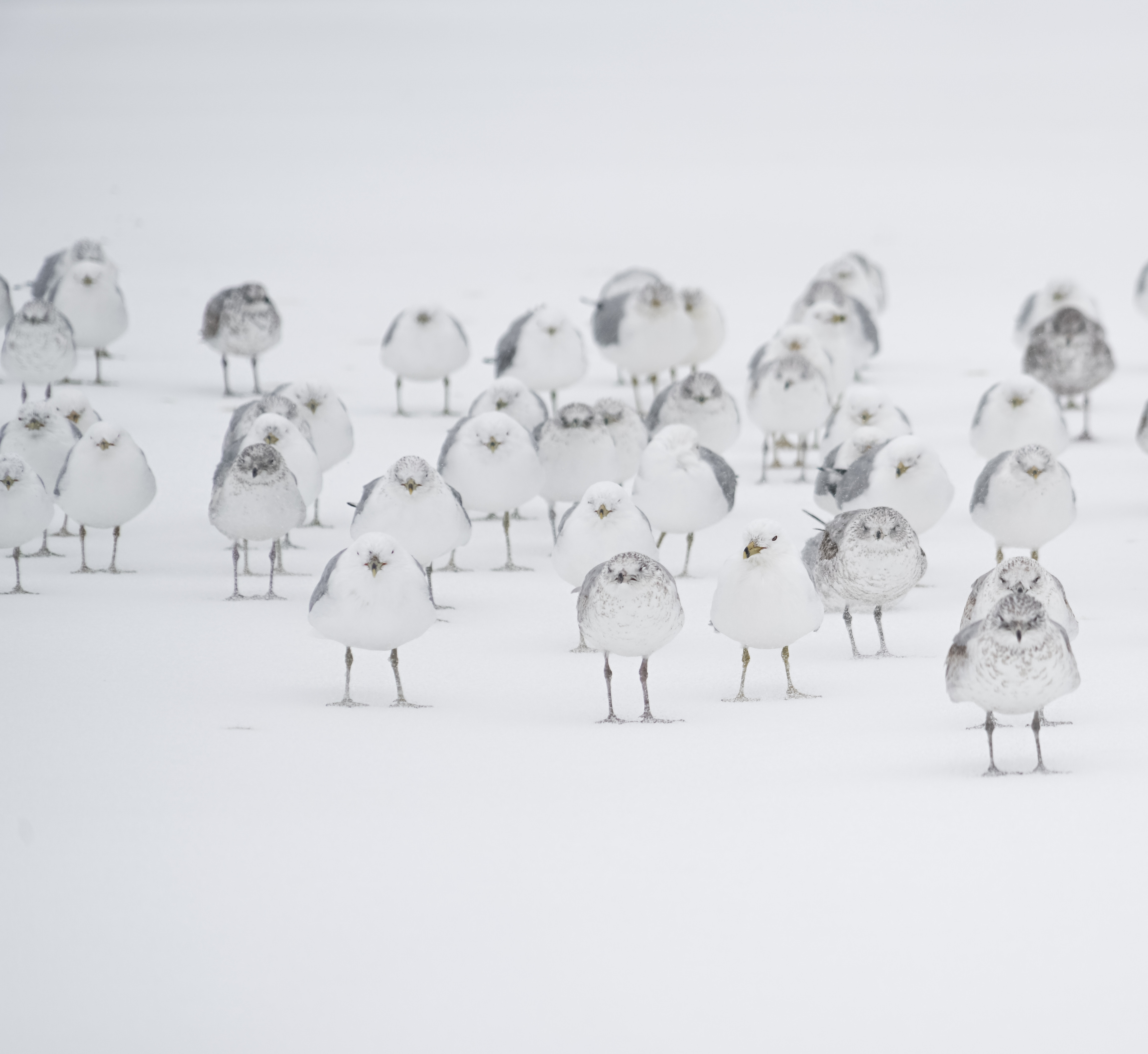 A flock of white birds standing in the snow.