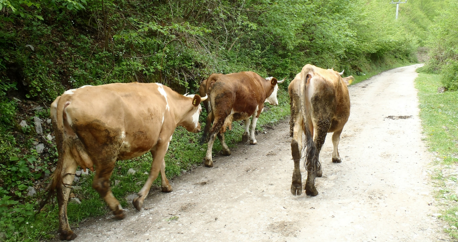 Cows walking up a path, seen from behind.